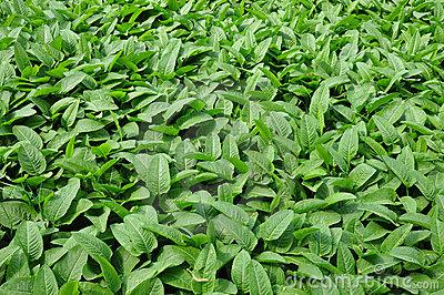 Common Bistort (Bistorta Officinalis) Stock Photo.