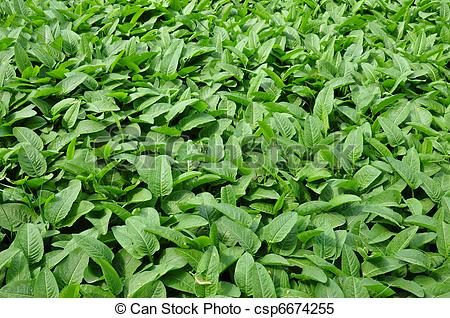 Stock Images of Common bistort (Bistorta officinalis) csp6674255.