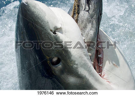 Stock Images of Mexico, Great White Shark (Carcharodon Carcharias.