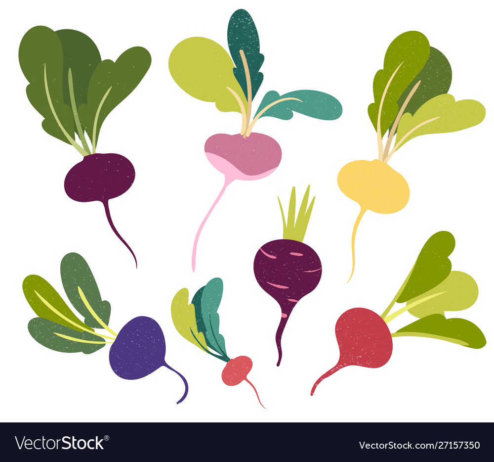 Beetroot in flat style and isolated on white vector image.