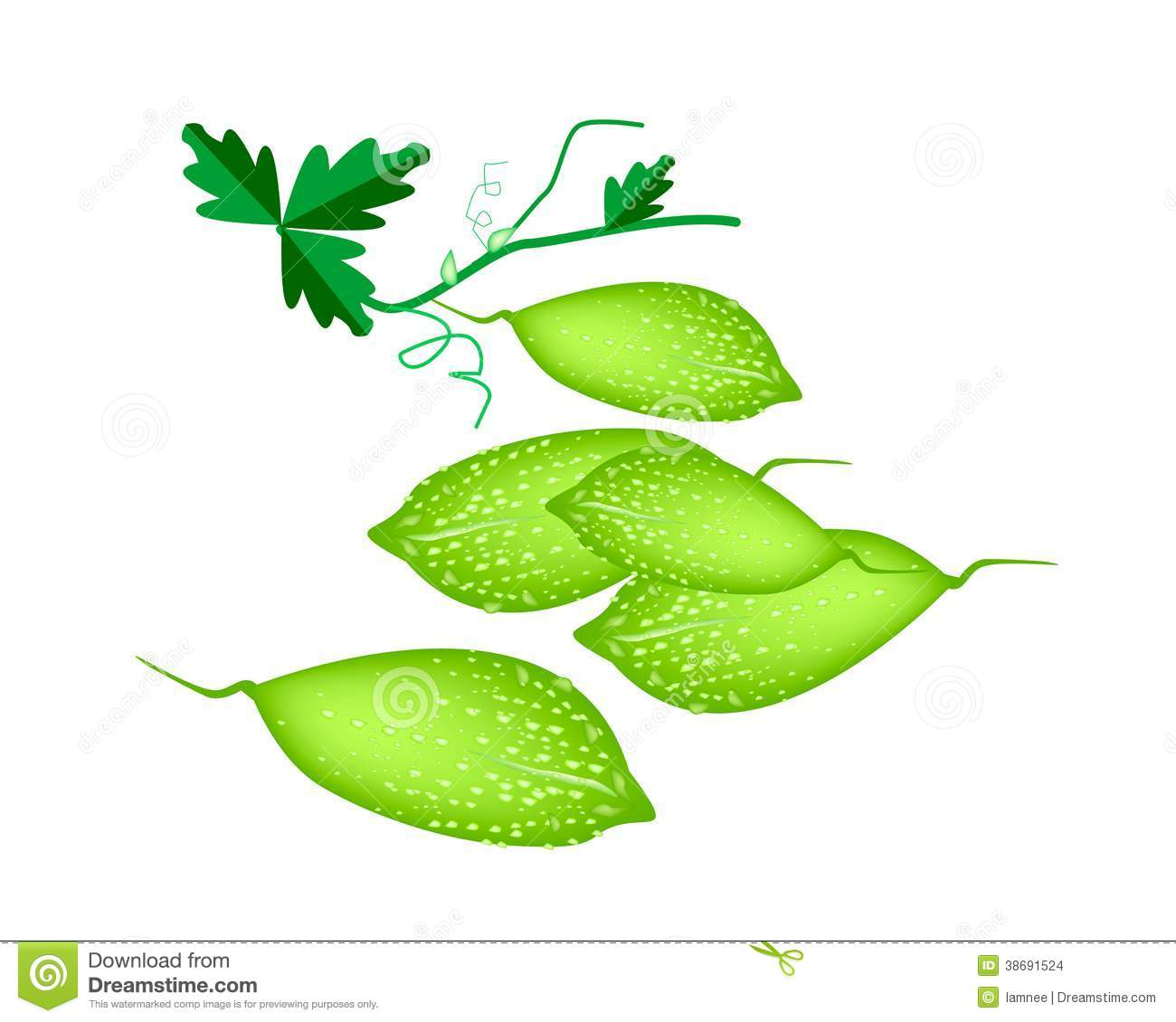 Ampalaya Bitter Melon Stock Illustrations.