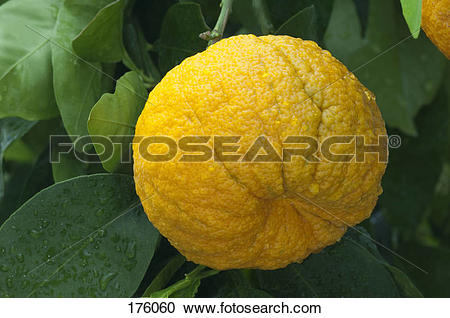 Stock Photography of Seville Range, Bitter Orange (Citrus x.