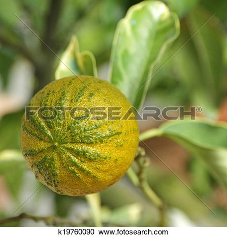Stock Photography of type of Bitter orange (Citrus aurantium.
