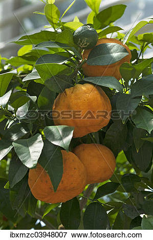 "Picture of ""Ripe Bitter oranges (Citrus aurantium) on branch."