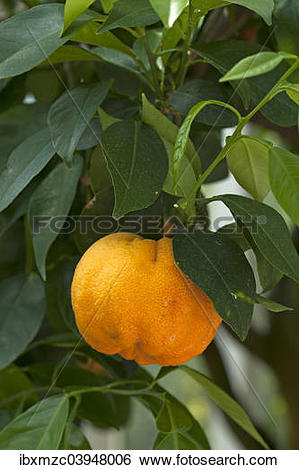 "Stock Images of ""Ripe Bitter oranges (Citrus aurantium) on branch."