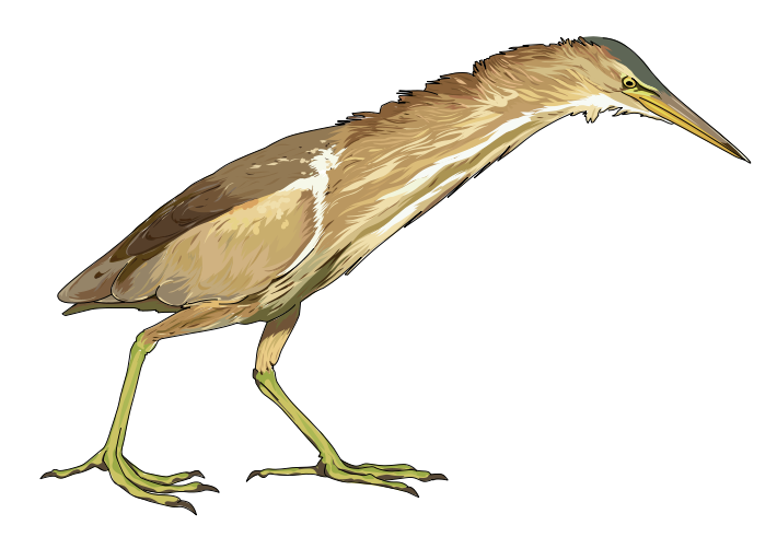 Free Little Bittern Clip Art.