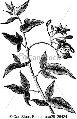 Vector Illustration of Bittersweet or solanum dulcamara, vintage.