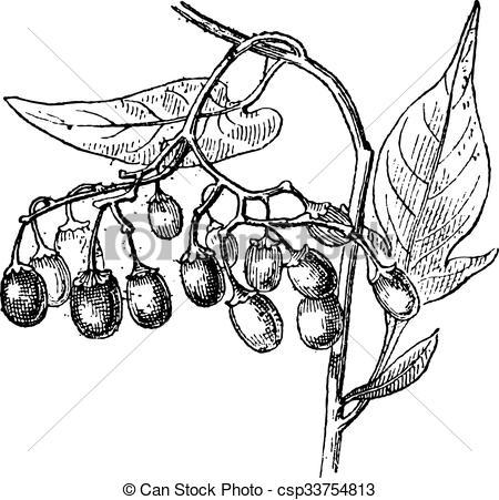 Vector Clip Art of Bittersweet or Solanum dulcamara, vintage.