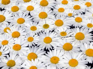Bilder und Videos suchen: margeritenblüte.