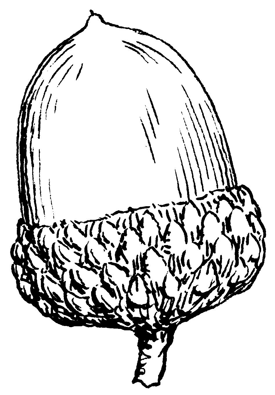 Acorn clipart black and white.