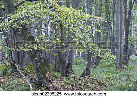 "Stock Image of ""Darss Forest, Common Beech trees (Fagus sylvatica."