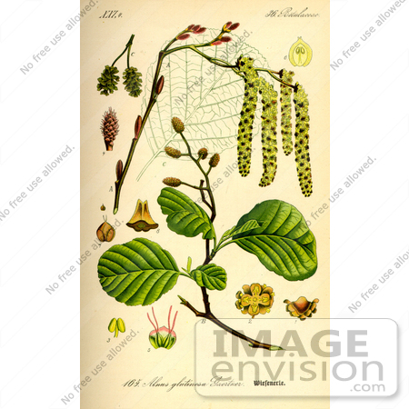 Picture of Black Alder, European Alder, Common Alder (Alnus.