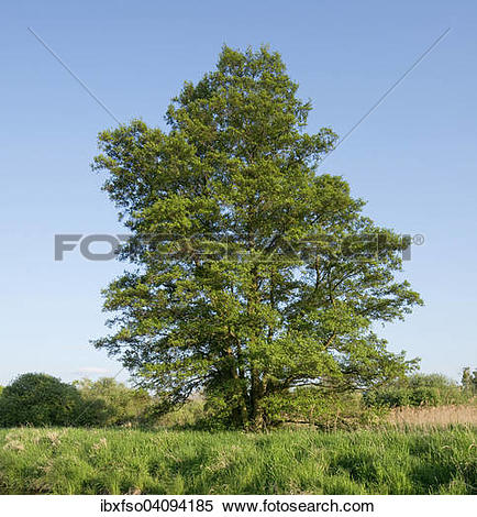 Stock Image of Black Alder or Common Alder (Alnus glutinosa.