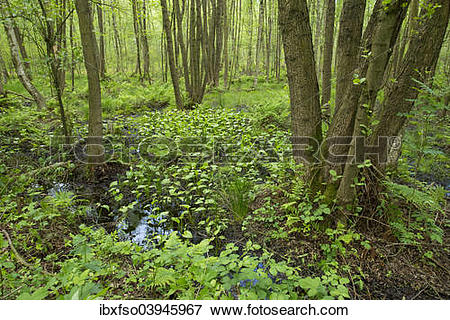 "Picture of ""Common Alder or Black Alder trees (Alnus glutinosa) in."