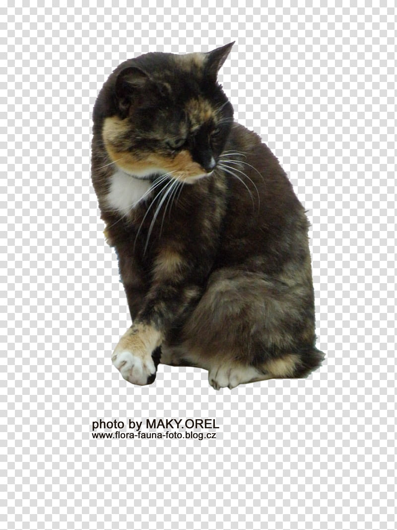 SET Tortoiseshell cat, sitting black and brown cat.