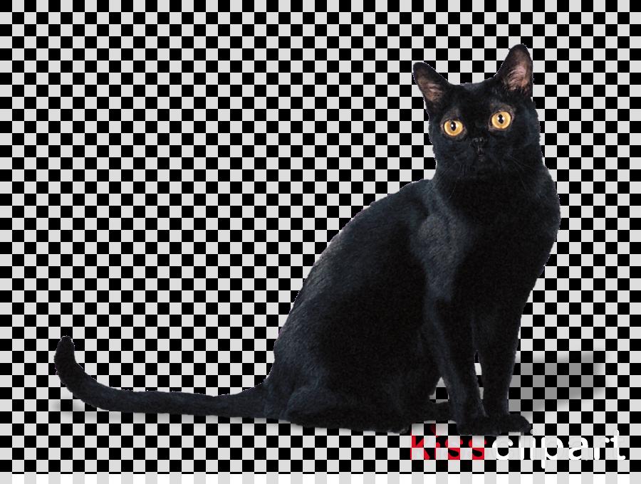 cat bombay black cat small to medium.