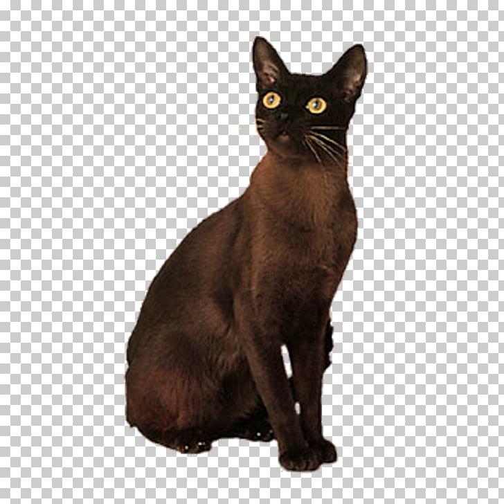 Bombay cat Korat German Rex Domestic short.