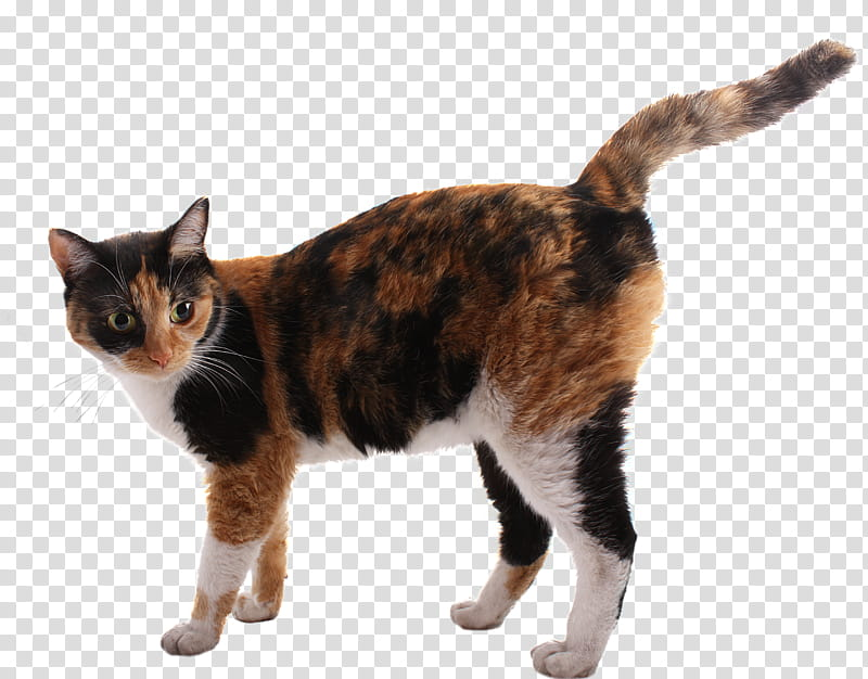 A Cat, brown and black calico cat transparent background PNG.