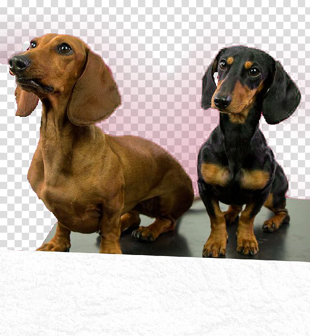 LOS POLINESIOS ANDREADESINGS, brown and black dachshund dogs.