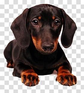 Dog, black and tan dachshund puppy transparent background.