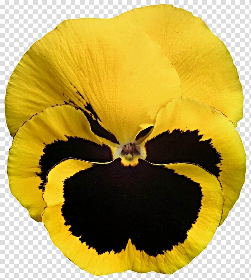 Pansy California golden violet Yellow Viola cornuta.