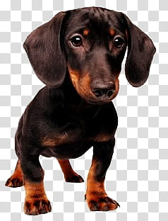 Dog, adult black and tan Dachshund transparent background.