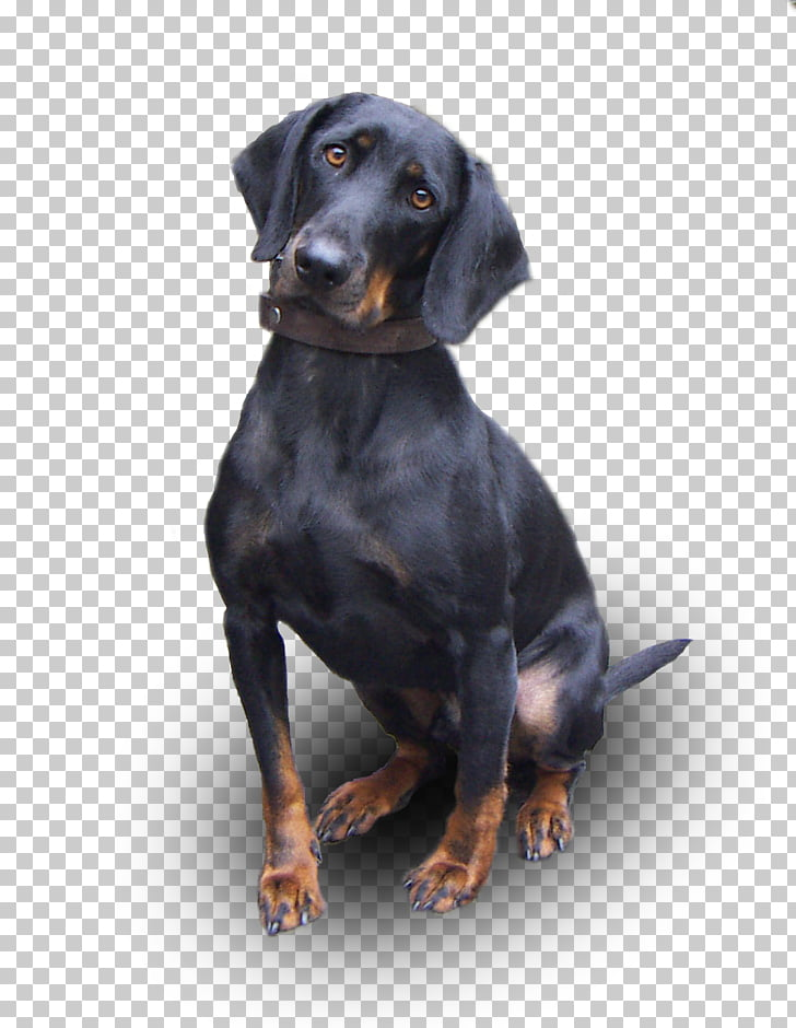 Austrian Black and Tan Hound Black and Tan Coonhound.