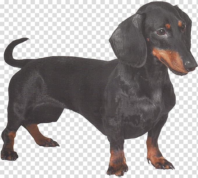 Black and Tan Coonhound Austrian Black and Tan Hound.