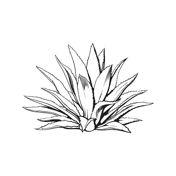 Agave clipart 3 » Clipart Station.