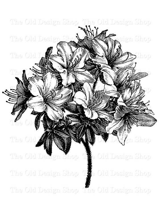 Azalea Bouquet Vintage Flower Clip Art Illustration Digital.