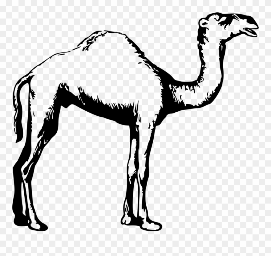 Dromedary Drawing Black And White Animal Camel.