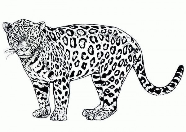 Free Cheetah Black And White Clipart, Download Free Clip Art.