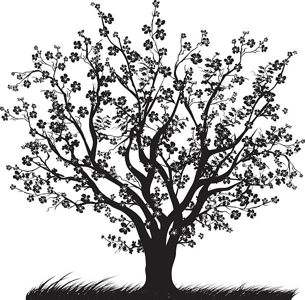 Best Black And White Cherry Blossom Illustrations, Royalty.