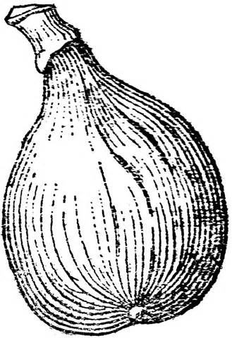 Free Fig Clipart Black And White, Download Free Clip Art.