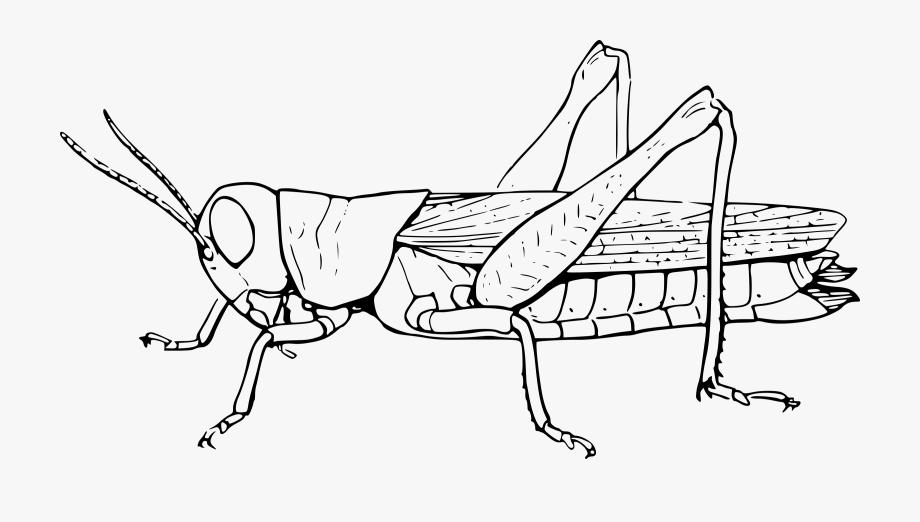 Grasshoper Big Image Png.