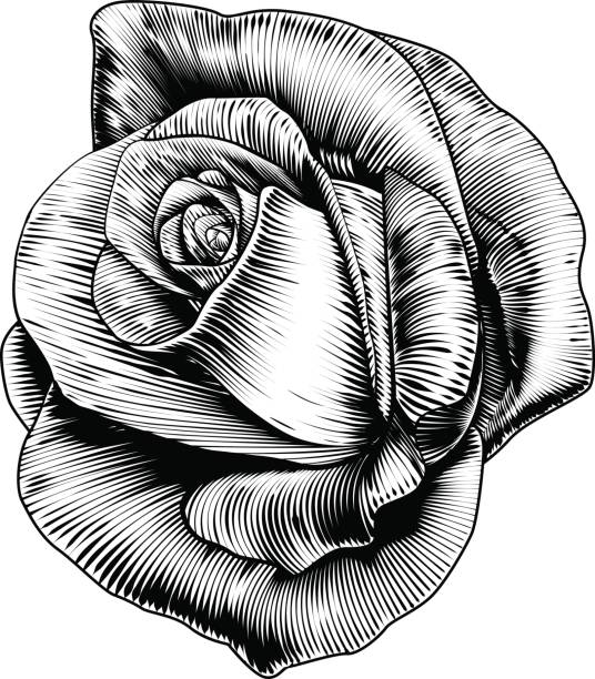 Best Black And White Rose Illustrations, Royalty.