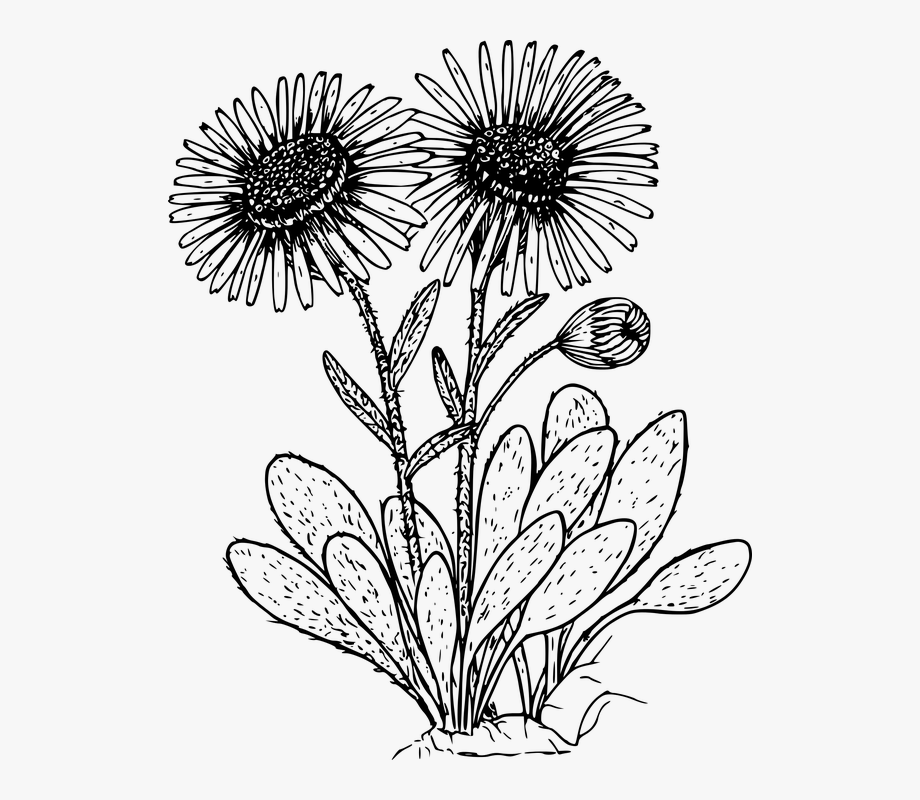 Drawn Wildflower Daisy Flower.