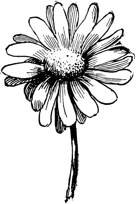 White daisy clipart images clipartcow.