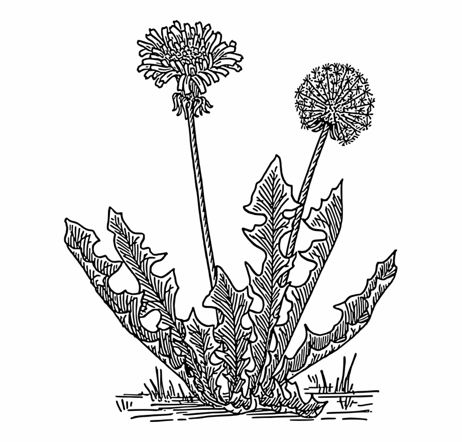 Dandelion Clipart Black And White Free PNG Images & Clipart Download.