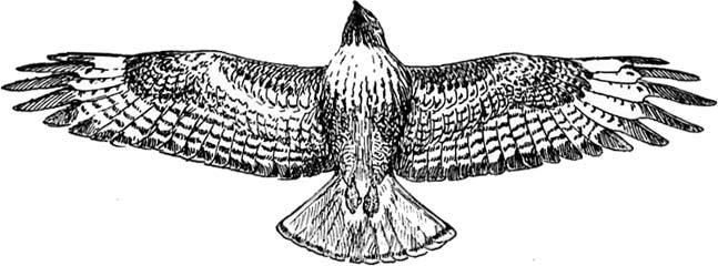 Hawk clipart 2 image.