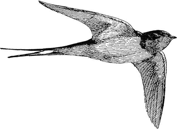 Bird Clipart White.