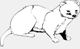 Ferret Cat Panther.