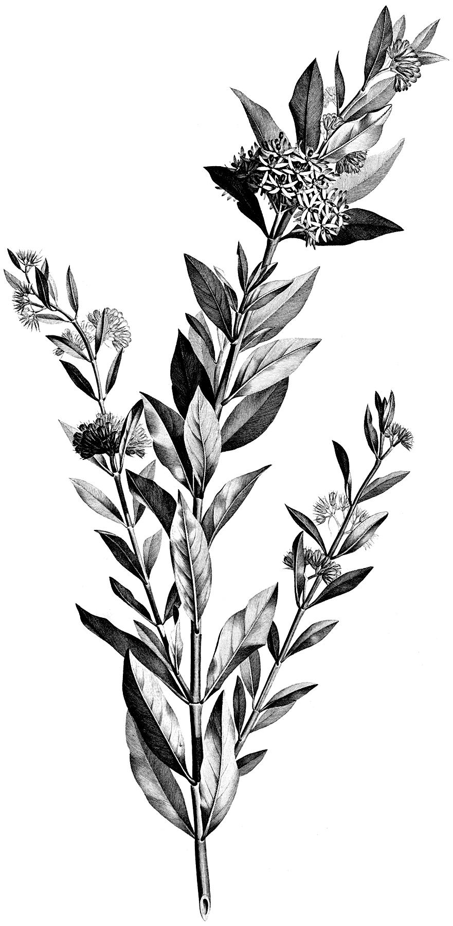 Vintage Black and White Floral Stem Botanical Clip Art!.