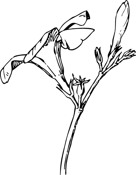 Oleander Flower And Bud clip art Free vector in Open office.