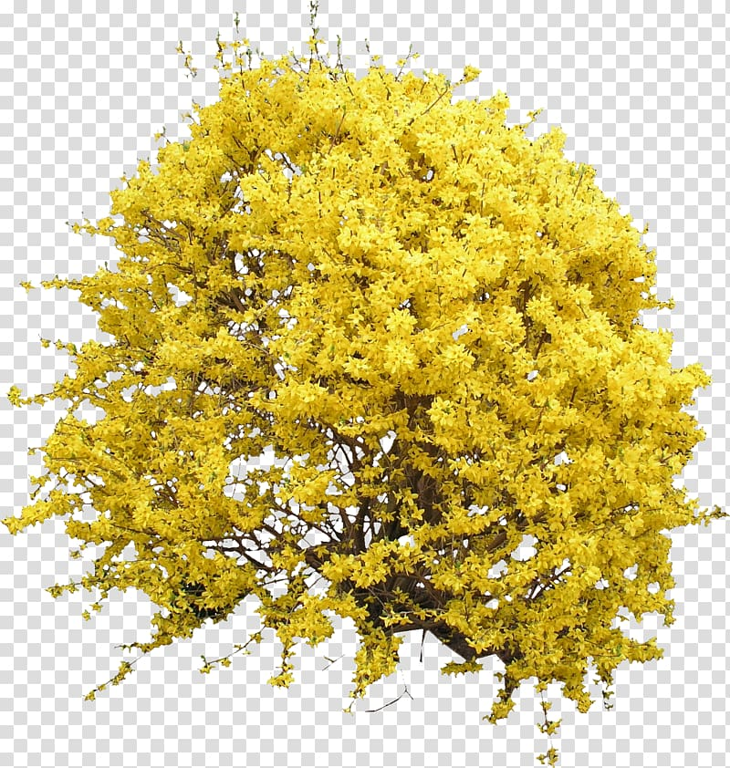 Yellow petaled flowers illustration, Shrub Forsythia Flower.