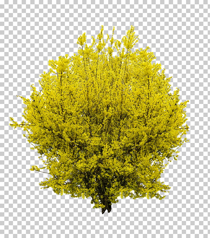 Shrub Forsythia Tree , bushes, green leafed plant PNG.