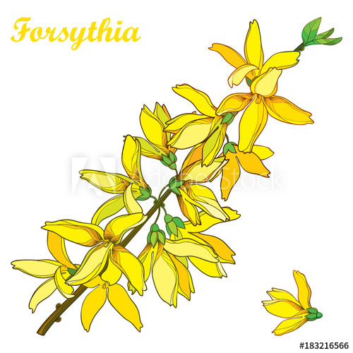 Vector branch with outline Forsythia flower bunch and leaves.