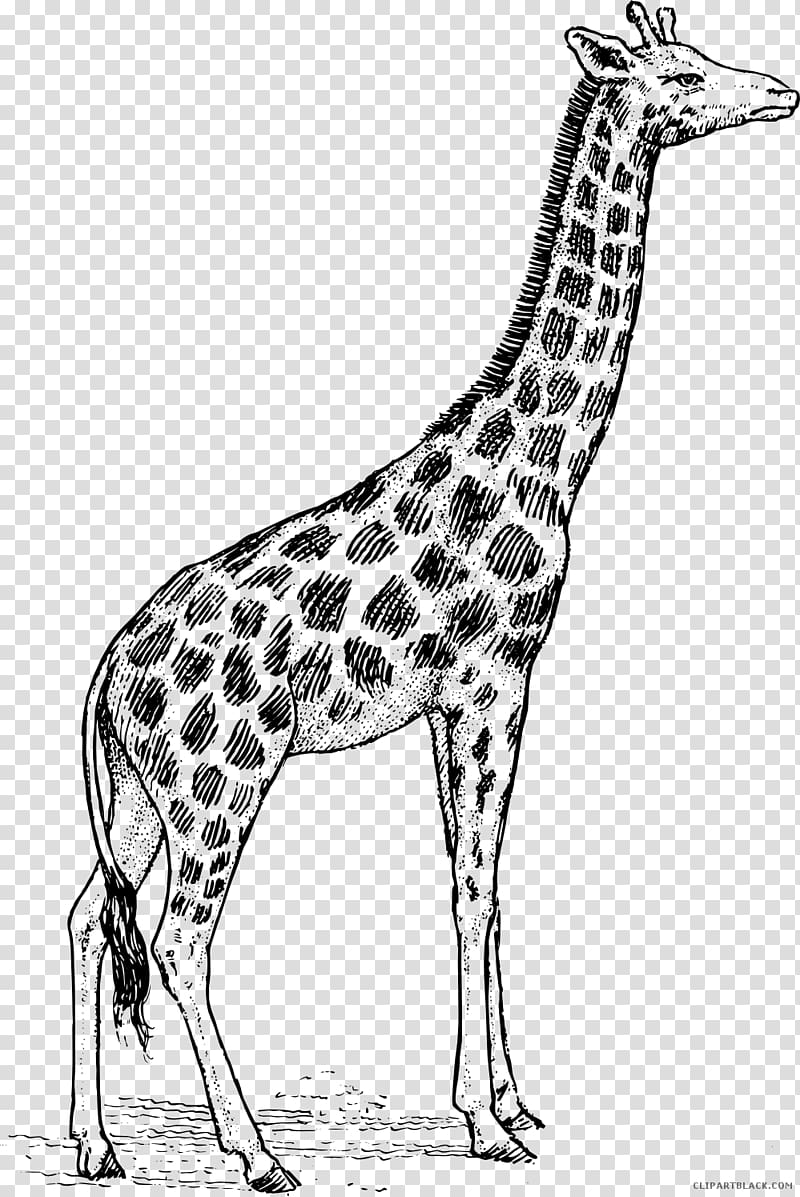 Giraffe Black and white , giraffe transparent background PNG.