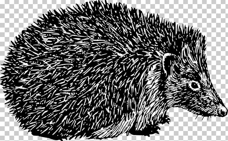 Domesticated Hedgehog Porcupine Black And White Spine PNG.