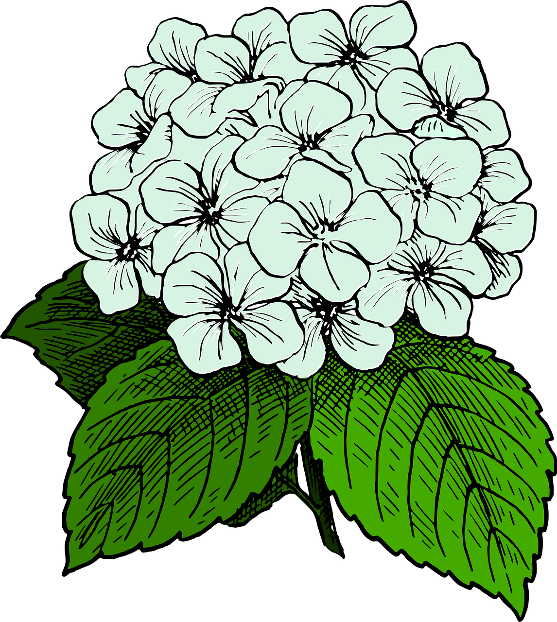 Clip art Openclipart French hydrangea Image Graphics.